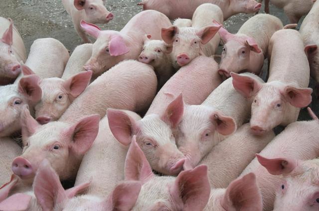 企业简介,超过温氏新希望,中国第二大生猪养殖企业诞生,一年卖956万头