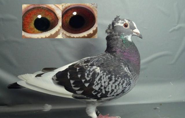 信鸽成绩查询,赛鸽阴阳眼能做种吗?眼砂只是参考,成绩才是重点