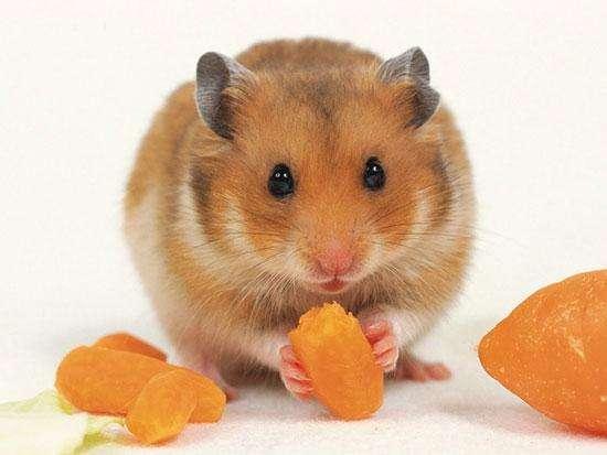 仓鼠品种,常见的6种宠物鼠盘点,这么可爱的一小只,你不考虑鼠年抱一只么