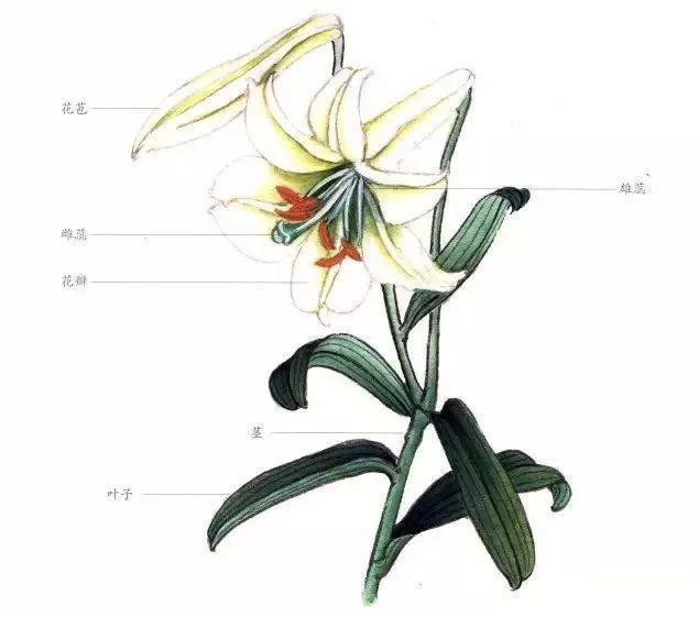 花卉工笔,图文教程——百合花的工笔画法