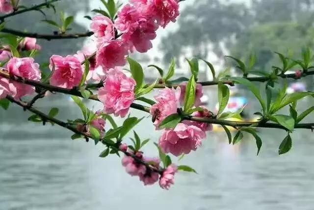 桃花的唯美句子,桃之夭夭,灼灼其华,桃花里的唯美诗意