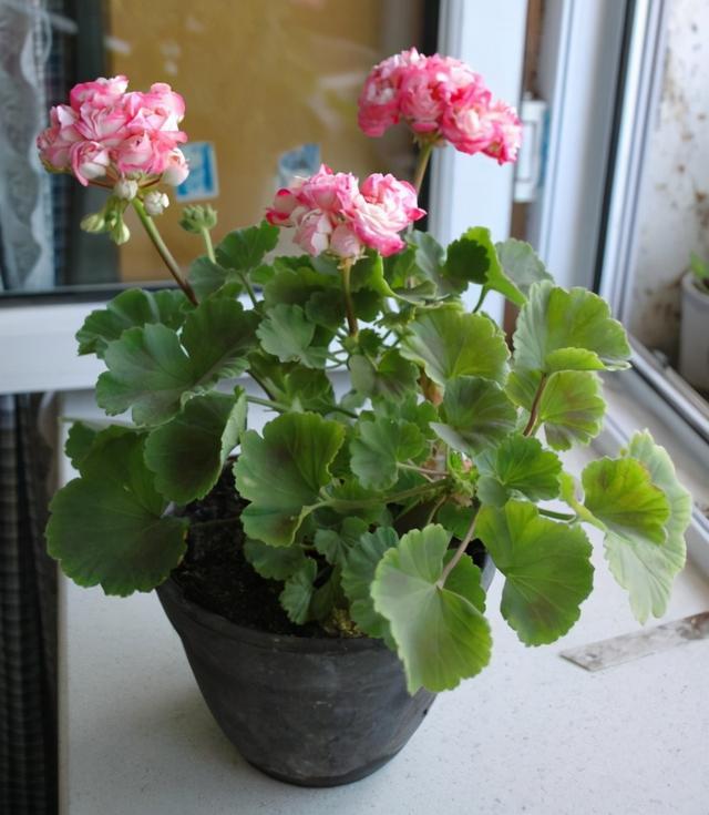 花卉网,阳台变成小花园,就得靠这些开爆的花卉支撑,真好看