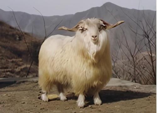 肉羊品种,我国本土山羊品种很多,这14种你们有没有养过?(一)