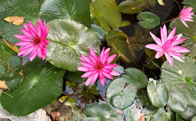 水培植物有哪些,6种水培就能盛开的花,美观大方又好养,开几朵花更漂亮了