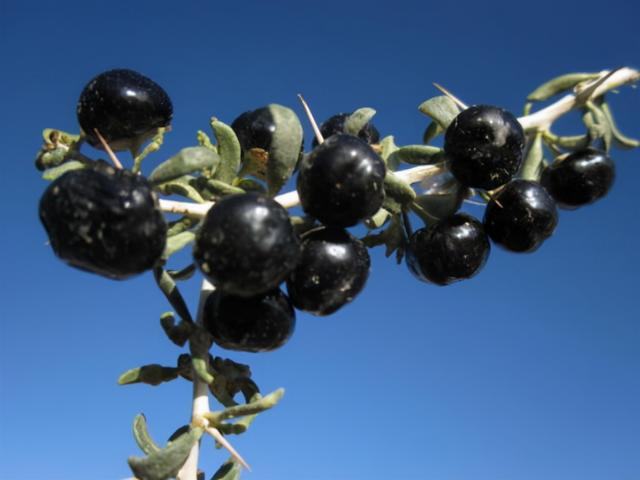 黑枸杞的正确吃法,黑枸杞怎么吃才能最大程度保留营养?