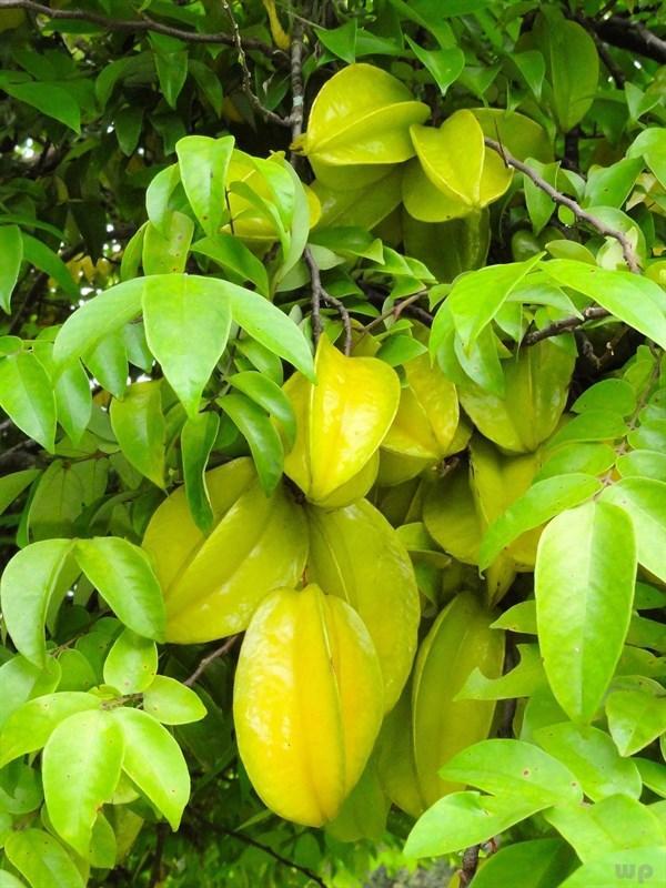 杨桃怎么吃,杨桃营养价值高,却是1类人的禁忌,严重者可中毒