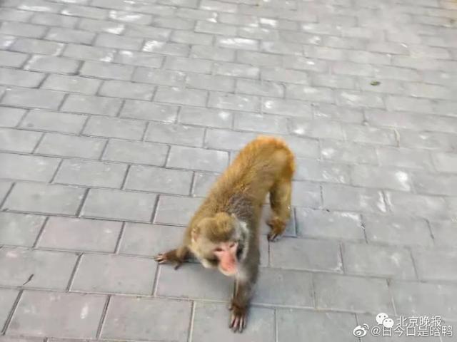 猴子图片,北京多处闹市区惊现猴子,可能还不止一只…