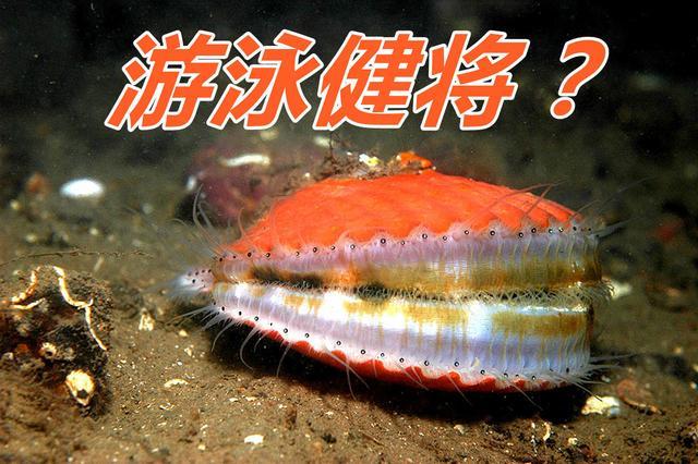 獐子岛集团的海蛎子们并不是受骗上当游来到日本,也不是被凉水团