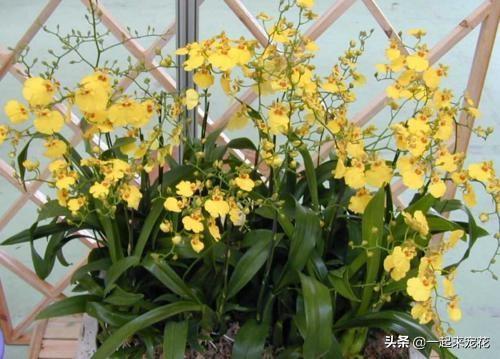 兰花图片,3种高颜值兰花,花色艳丽开花又多,不愁春节没花赏