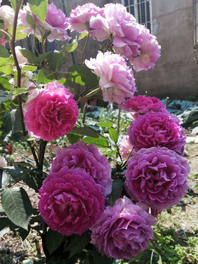 牡丹花卉,牡丹真不愧是花中女皇,开花一朵堪比碗口大,养护有点小技巧