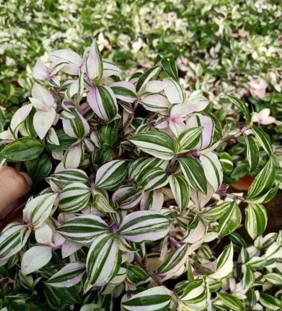 """吊兰品种,3种""""网红吊兰"""",今年很流行,阳台再小也要养,好养比花美"""
