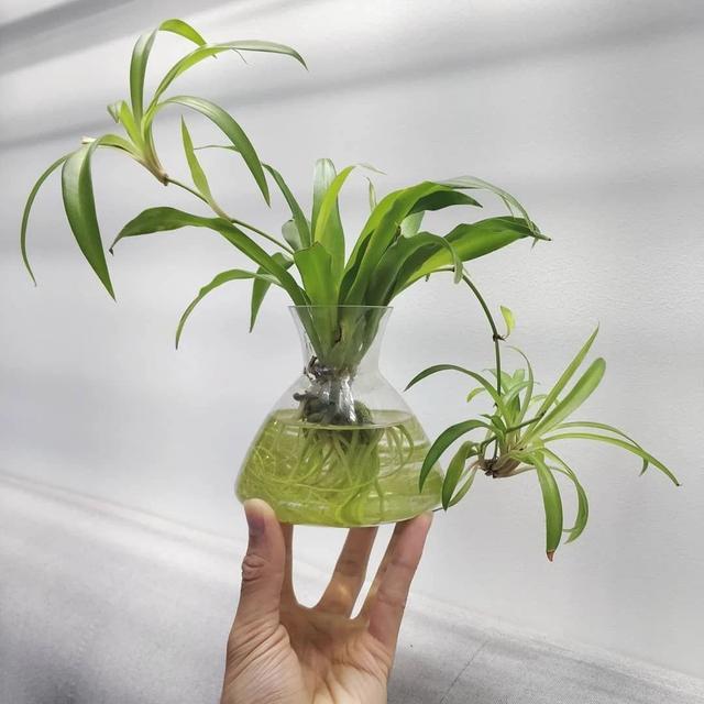水生植物有哪些,新手专属水培绿植,并非只有绿萝、吊兰和富贵竹,还有更特别的