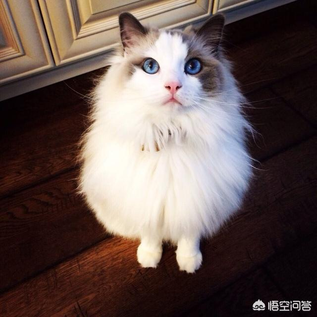 给布偶猫选择猫粮的时候要注意什么?