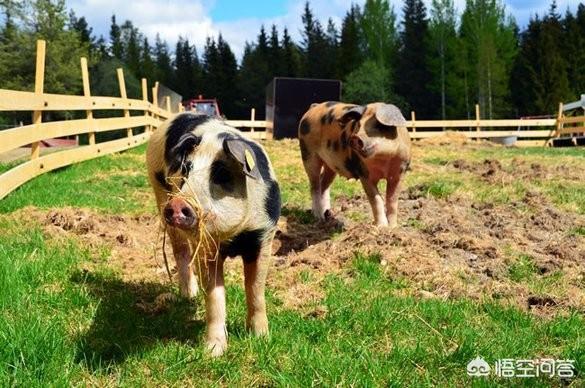 贫困地区圈养的猪嗜睡,有哪些其原因?是不是预防呢?鸡使用智能卡发酵床有什么优劣?