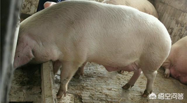 在贫困地区市集上,为什么猪脚后跟要比大树枝昂贵些?原因在于肉少吗?六安这些养鸡场,给鸡吃添加剂,鸡蛋