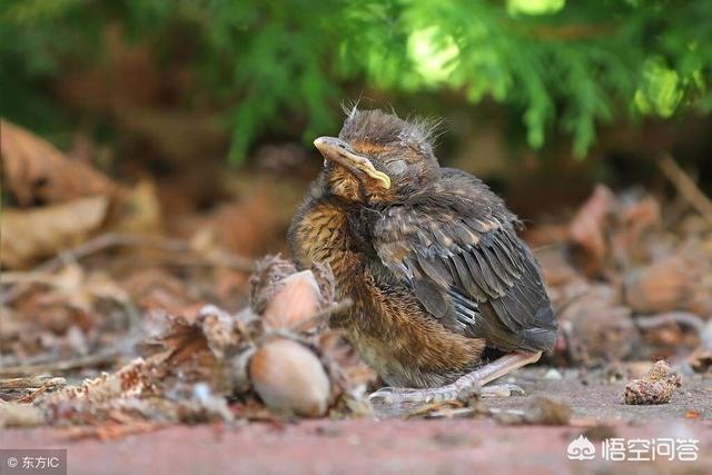 农村树上鸟窝里的小鸟掉下来,鸟妈妈是怎么做的呢?