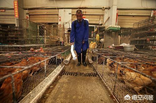 鸡的球虫病该怎么治疗?