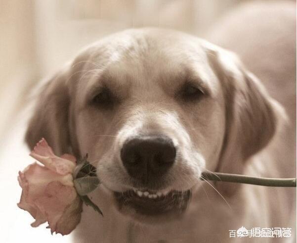 送女朋友礼物不当舔狗,为什么对象之间第一次送礼物不能送狗?(为什么狗狗不能送人只能卖)