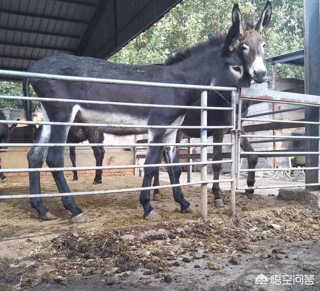"""2018年肉驴养殖业前景如何?农村养一只肉驴能赚多少钱?90后T5800辞职回汉中,开办猪场当起""""Cubzac"""",还通过""""合作社 农户""""形式带领村民们大寨。你是不是看?(图2)"""