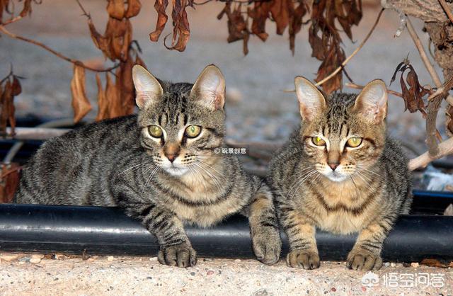 兄妹猫(兄妹猫可以生小猫吗)