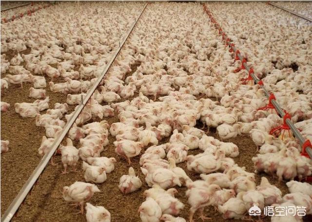 有哪些关于养殖肉鸡的好建议?