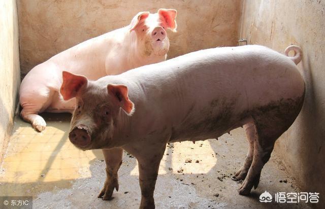 """2019是猪年,小散户养猪还能抱到""""金猪""""吗?"""