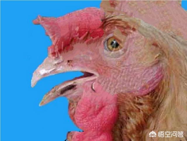 春季鸡病毒感染性哮喘高发,养鸡人如何进行西药防治?如何养猪?(图2)