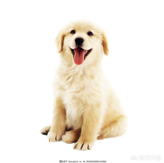金毛 1个月 狗笼:一个半月的金毛幼犬晚上