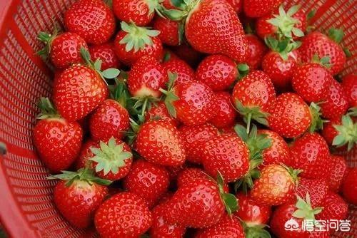 刚怀孕吃草莓好吗 怀孕能不能吃草莓?为什么?