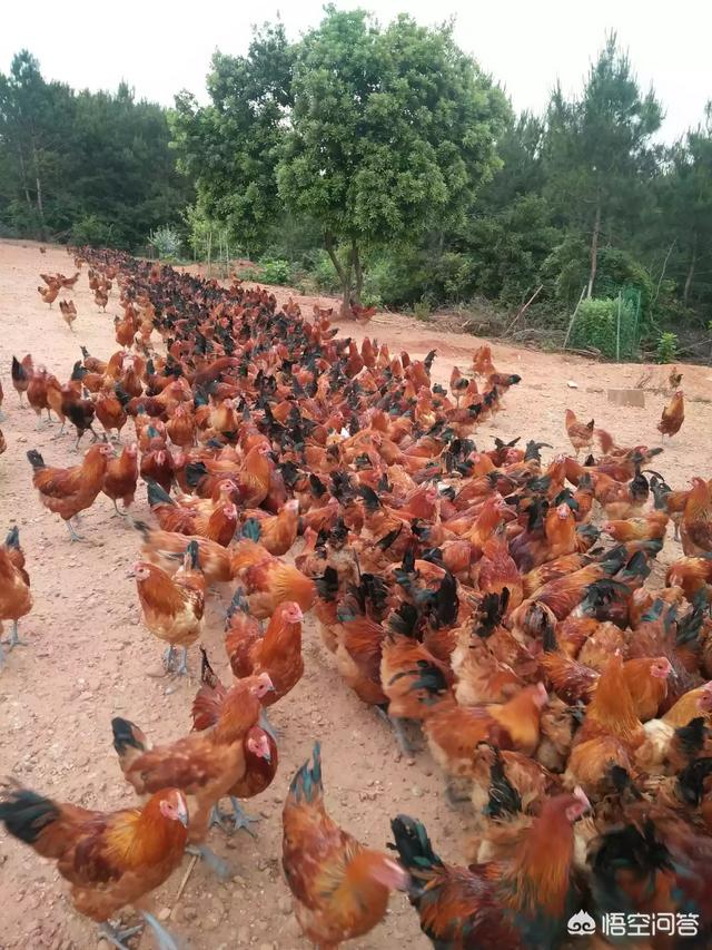 贫困地区山地从事什么养殖业能加速进阶,卖相怎样开拓?养鸡2020三季度发展前景怎样?