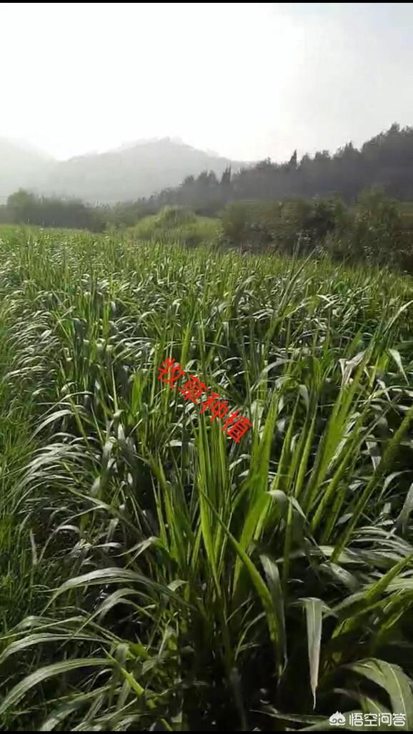 在南方的农村,想做大自然生态养殖业,该怎么着手?鸡的破坏力有多强?山林地放养土鸡,为何鸡活动的地方光秃秃的?(图6)