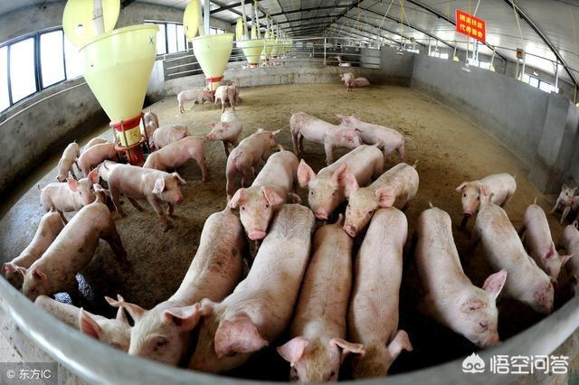 快手胜哥,2019年养猪可以挣钱吗?