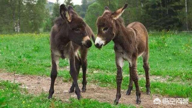 骆驼在市场上的产品价格不低,一头骆驼价值数万元,为何贫困户家犬驴呢?驴的养殖业生产成本与利润?
