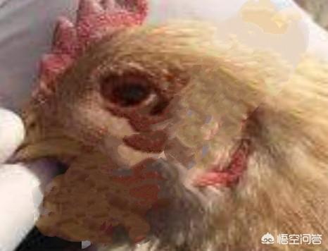 春季鸡病毒感染性哮喘高发,养鸡人如何进行西药防治?如何养猪?(图3)