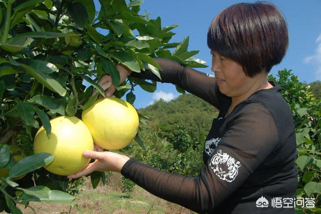 红心柚怎么培育出来的、红心柚子怎么栽培、红心蜜柚管理技术