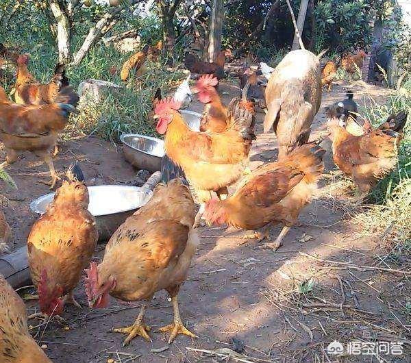 贫困地区菜园和鸡狗脂挣钱吗?诸位湖南养羊的好友,我们先天十人到湖南实地考察,有博热县推荐吗?(图5)