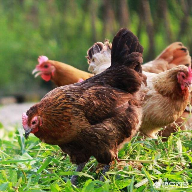 贫困地区菜园和鸡狗脂挣钱吗?诸位湖南养羊的好友,我们先天十人到湖南实地考察,有博热县推荐吗?(图3)