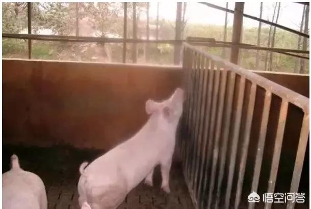 存栏猪怎么喂长得快,存栏猪的圈养方法?农村适合养殖哪些动物?你怎么看?(图4)