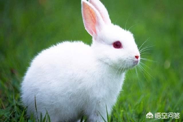 垂耳兔飞耳阶段:为什么养兔没有发财的(