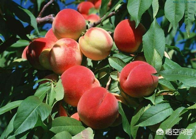 蟠桃图片,优良的蟠桃品种主要有哪些?