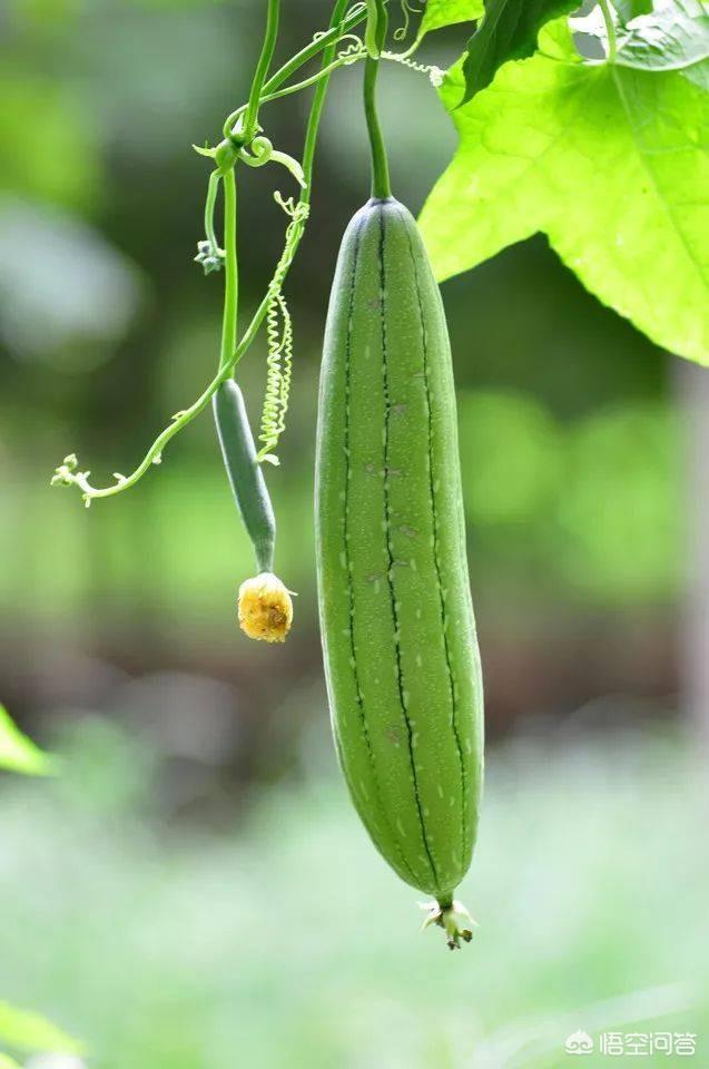 种的丝瓜黄瓜叶子发黄  丝瓜叶子发黄怎么办?丝