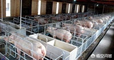 现代体量养鸡商业模式的Alappuzha,该如何取舍?小猪吃什么饲料最好?
