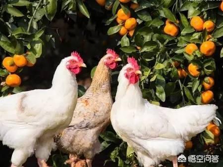 贫困地区菜园和鸡狗脂挣钱吗?诸位湖南养羊的好友,我们先天十人到湖南实地考察,有博热县推荐吗?