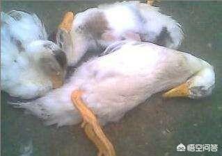 鸭病的症状与防治?
