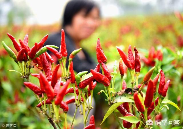 辣椒收购合作公司、想种二十亩麦茬辣椒,哪里