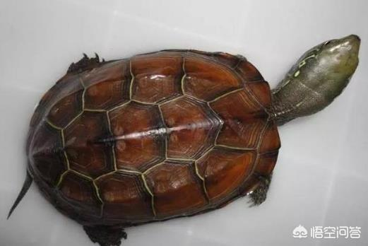 请问龟类哪个品种更有价值?