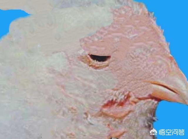 春季鸡病毒感染性哮喘高发,养鸡人如何进行西药防治?如何养猪?(图1)