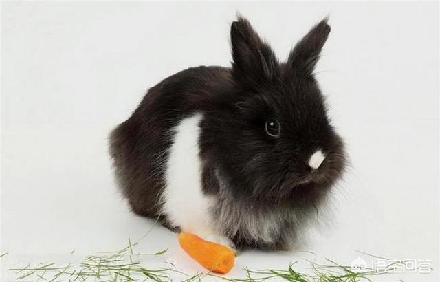 垂耳兔身上有痂:兔子的耳朵下垂。又红又