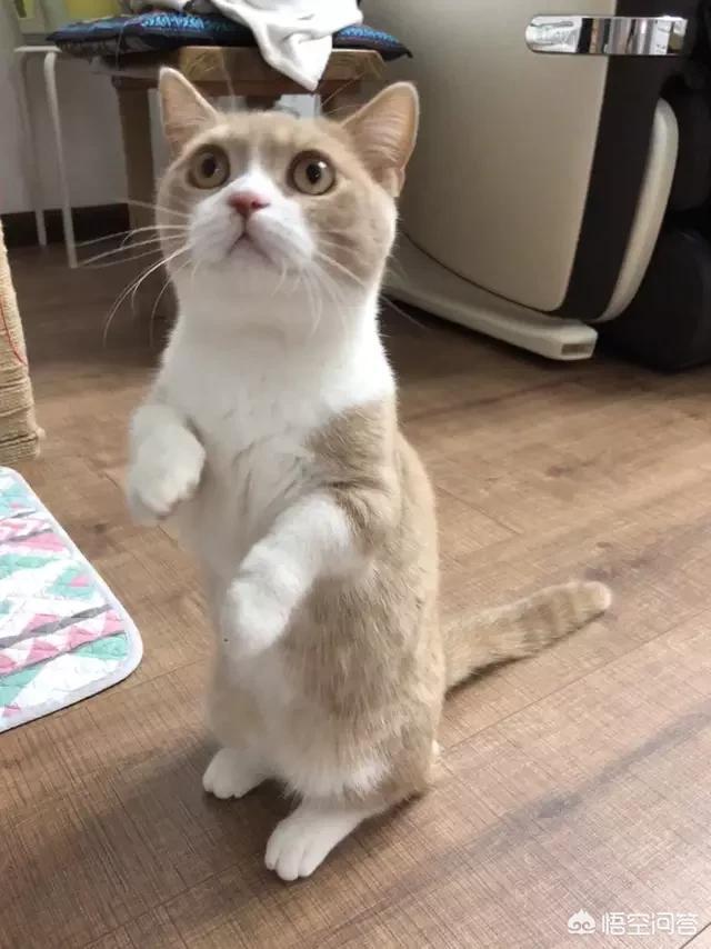 短腿英短比长腿贵吗 蓝猫短腿为什么比长腿贵?