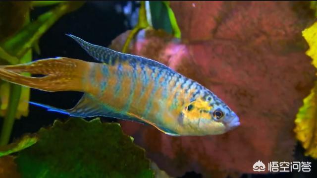 非洲王子鱼和泰国斗鱼:非洲王子鱼多大可